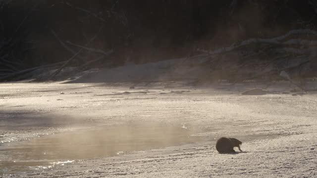 eurasisk utter (lutra lutra) och snö, vitryssland - europeisk utter bildbanksvideor och videomaterial från bakom kulisserna