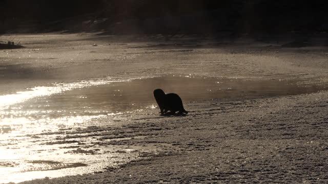vidéos et rushes de loutre eurasienne (lutra lutra) et neige, biélorussie - loutre d'europe