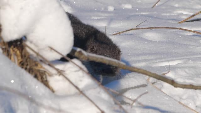vídeos y material grabado en eventos de stock de nutria euroasiática (lutra lutra) y nieve, bielorrusia - protección de fauna salvaje