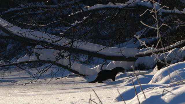 eurasian otter (lutra lutra) and snow, belarus - european otter stock videos & royalty-free footage