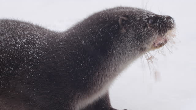 eurasian otter (lutra lutra) and snow, belarus - named wilderness area stock videos & royalty-free footage