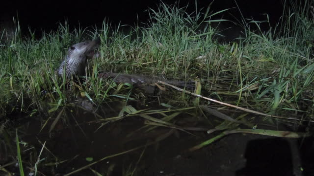 eurasian otter (lutra lutra) eating fish, belarus - european otter stock videos & royalty-free footage