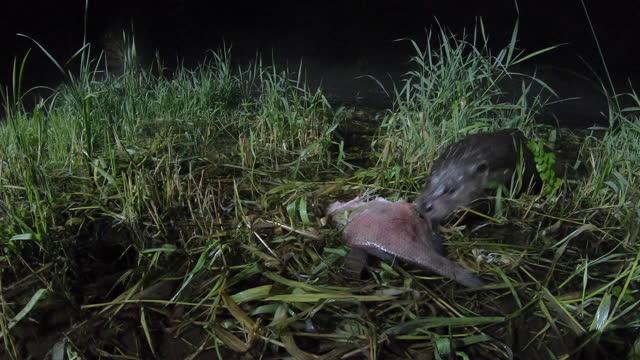 eurasian otter (lutra lutra) eating fish, belarus - eurasian otter stock videos & royalty-free footage