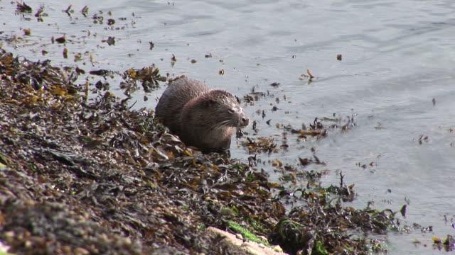 eurasian otter (lutra lutra). foraging along shore. tobermory. mull. scotland - eurasian otter stock videos & royalty-free footage