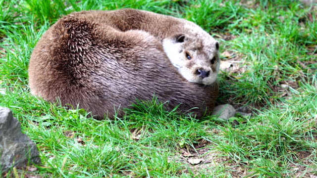 eurasian otter sleeping and awakening - otter stock videos & royalty-free footage