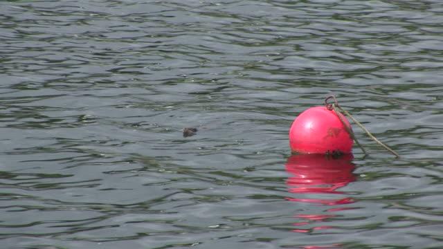eurasian otter (lutra lutra). swims. tobermory. mull. scotland - mull stock-videos und b-roll-filmmaterial