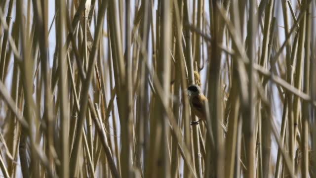 eurasian penduline tit (remiz pendulinus) - zoology stock videos & royalty-free footage