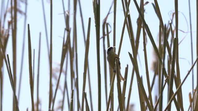 eurasian penduline tit (remiz pendulinus) - mitten stock videos & royalty-free footage