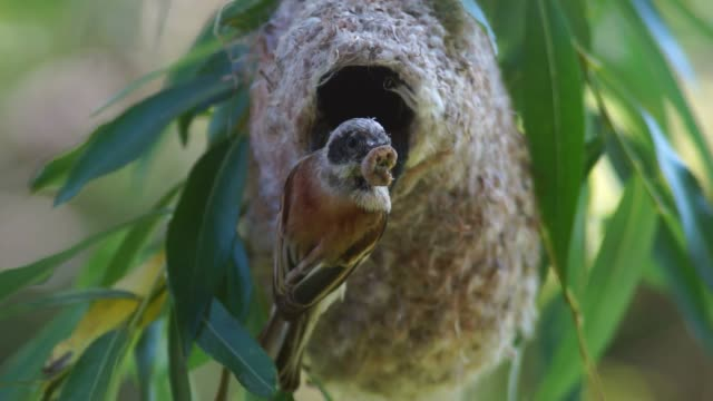 eurasian penduline tit (remiz pendulinus) - birdsong stock videos & royalty-free footage
