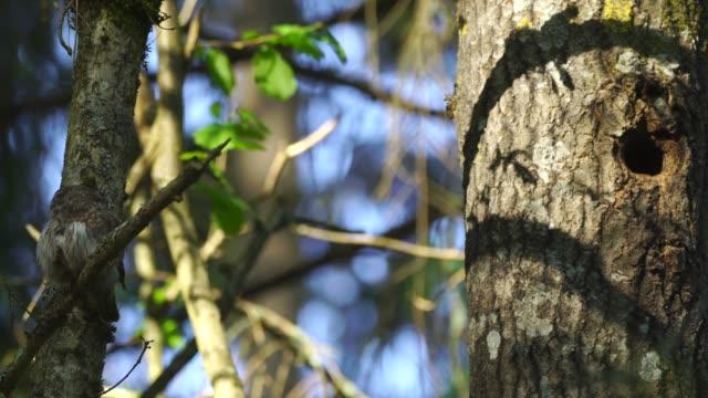 vídeos y material grabado en eventos de stock de búho pigmeo eurasiático (glaucidium passerinum) - cuello de animal