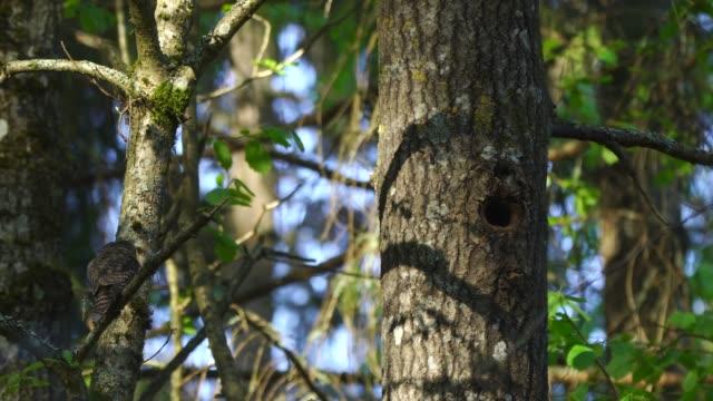 eurasian pygmy owl (glaucidium passerinum) - animal neck stock videos & royalty-free footage