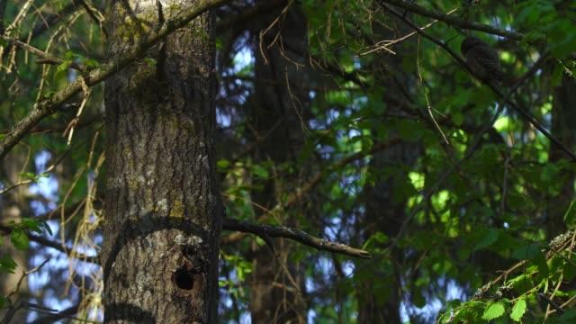 eurasian pygmy owl (glaucidium passerinum) - animal nest stock videos & royalty-free footage