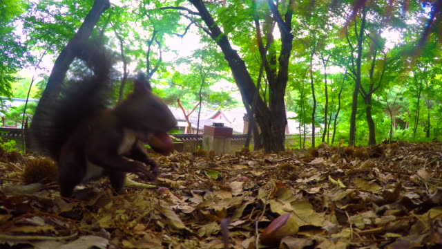 a eurasian red squirrel climbing up tree with chestnut in backyard of changdeok palace (unesco world heritage site in seoul) - ナッツ類点の映像素材/bロール