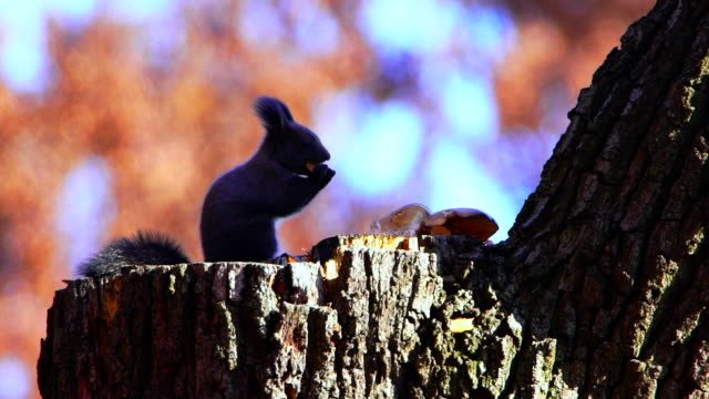 vidéos et rushes de eurasian red squirrel eating on a tree stump - tronc d'arbre