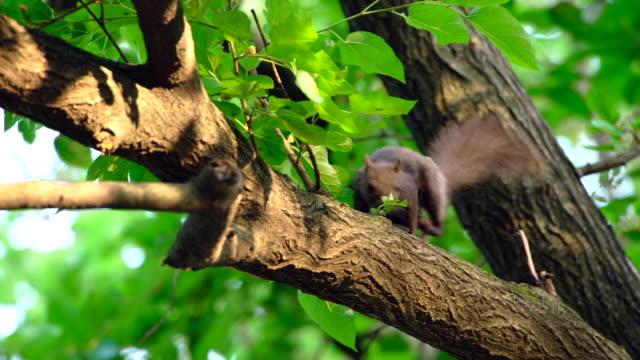 vídeos y material grabado en eventos de stock de eurasian red squirrel on a white mulberry tree - zoología