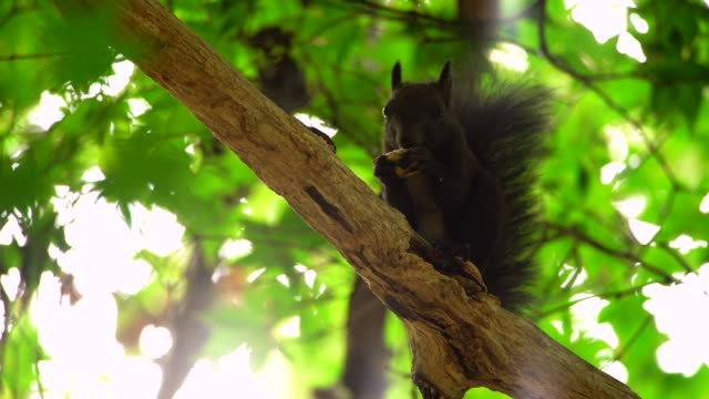 a eurasian red squirrel peeling chesnut on the tree - nutshell stock videos & royalty-free footage