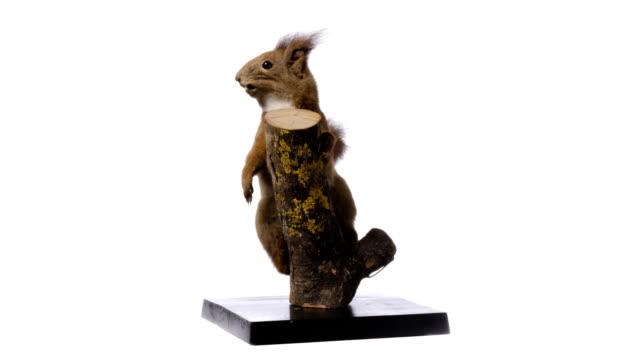 eurasiatische eichhörnchen sciurus vulgaris) ( - freisteller neutraler hintergrund stock-videos und b-roll-filmmaterial