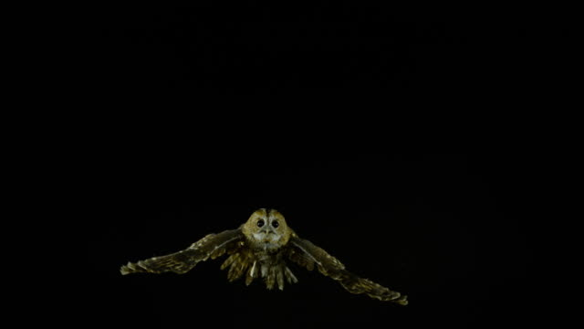vídeos de stock e filmes b-roll de eurasian tawny owl, strix aluco, adult in flight, normandy, slow motion 4k - asa de animal