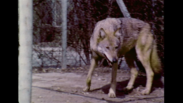 eurasian wolf in captivity walking around enclosure w/ chainlink fence zoo animal wildlife mammal carnivore - animale in cattività video stock e b–roll