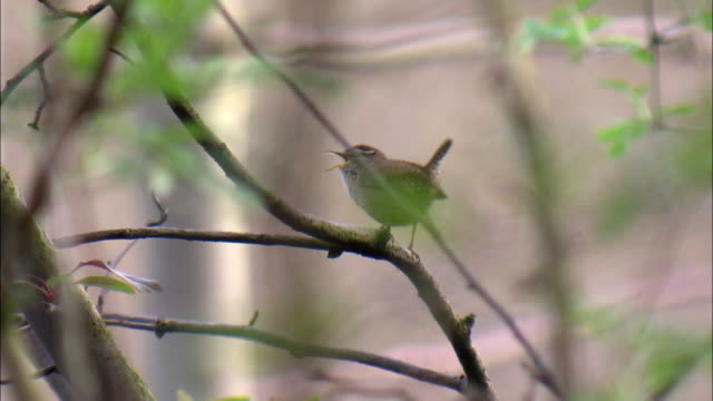 eurasian wren (troglodytes troglodytes) sings in garden, glasgow, scotland - songbird stock videos & royalty-free footage