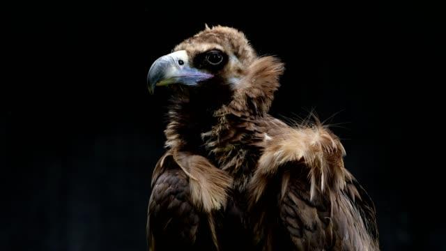 vidéos et rushes de euroasien black vulture, aegypius monachus, portrait - vautour moine