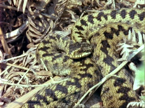cu european adder curled up in leaf litter, camouflaged, uk - pezzatura video stock e b–roll