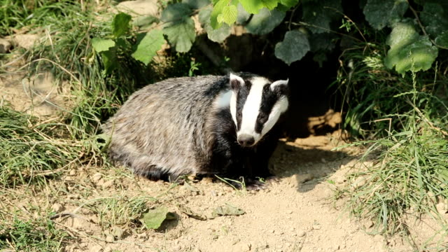 european badger in set - wildlife stock videos & royalty-free footage