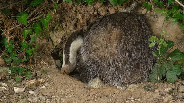 cu european badger, meles meles / calvados, normandy, france - calvados stock videos and b-roll footage
