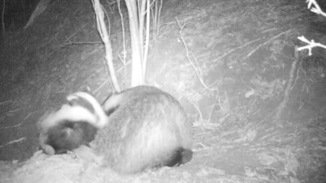 european badger - night vision stock videos and b-roll footage