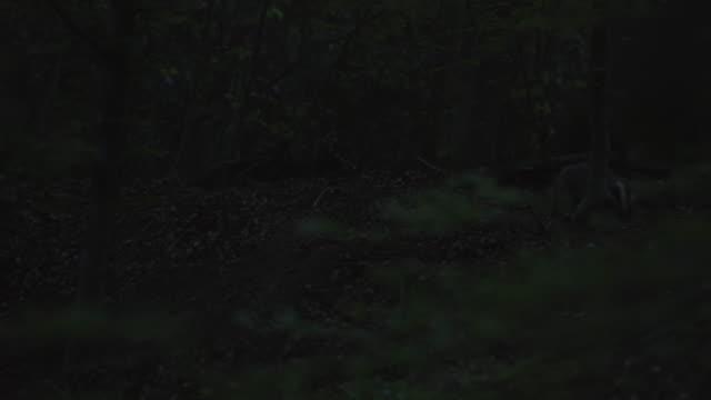 stockvideo's en b-roll-footage met europese badgers foerageren in het zwarte woud - vier dieren