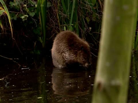 European Beaver (Castor fiber) cleaning in lake, England, UK