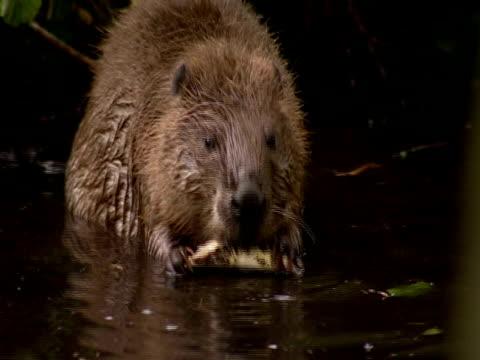 european beaver (castor fiber) gnawing log, southport, england, uk - southport england stock videos & royalty-free footage