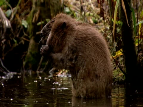 european beavers (castor fiber) cleaning in lake, england, uk - southport england stock videos & royalty-free footage