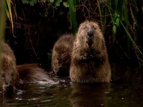 european beavers (castor fiber) cleaning in lake, england, uk - beaver stock videos & royalty-free footage