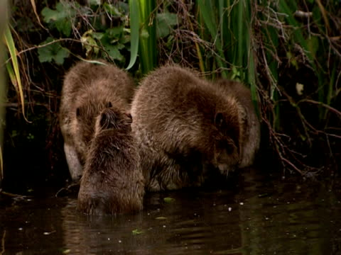 european beavers (castor fiber) cleaning together in lake, england, uk - southport england stock videos & royalty-free footage