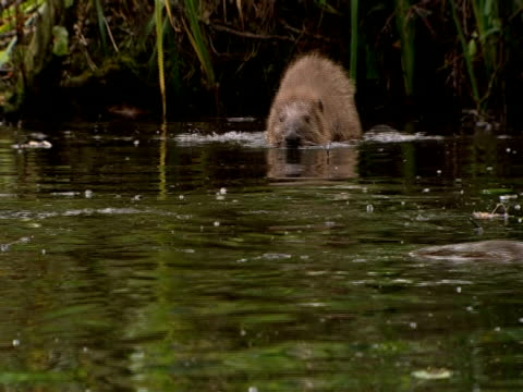 european beavers (castor fiber) swimming, southport, england, uk - southport england stock videos & royalty-free footage