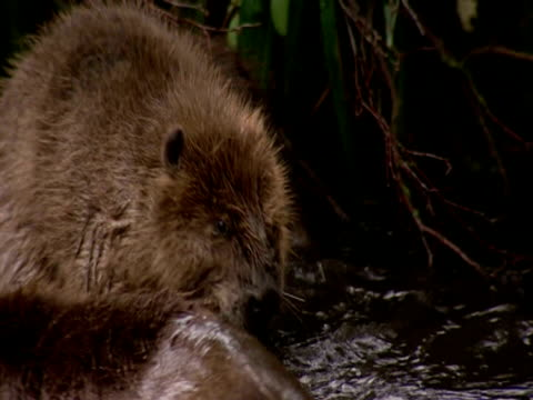 european beavers (castor fiber) together in lake, england, uk - southport england stock videos & royalty-free footage