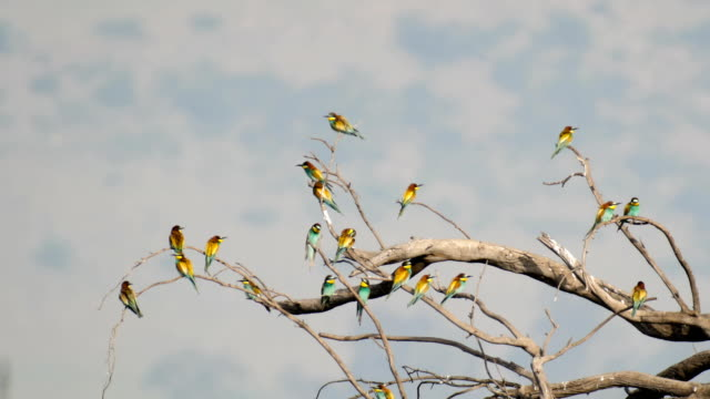 european bee-eater (merops apiaster), flock  perching-resting on a dead tree - southern european stock videos & royalty-free footage