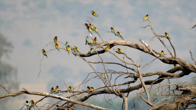 European bee-eater (Merops apiaster), flock  perching-resting on a dead tree