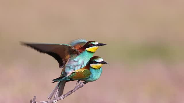 vídeos de stock e filmes b-roll de european bee-eater mating - animals in the wild