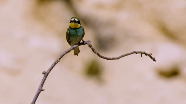 european bee-eater (merops apiaster) - branch stock videos & royalty-free footage