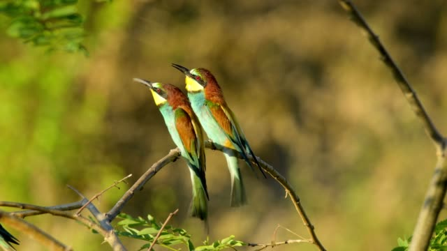 european bee-eaters, merops apiaster, in summer - two animals stock-videos und b-roll-filmmaterial