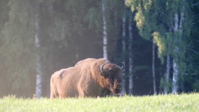 european bison - bison bonasus (poland) - american bison stock videos & royalty-free footage