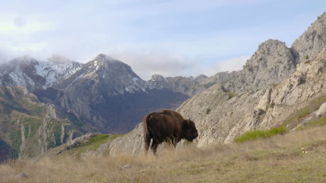 European Bison in a mountain landscape