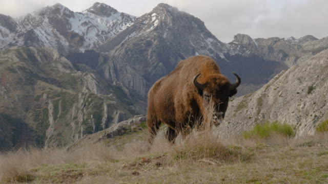 European Bison in Anciles Mountains