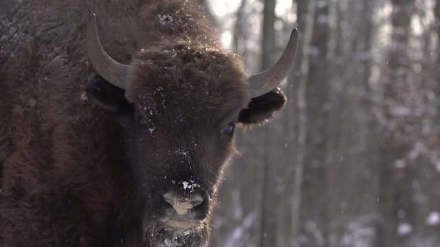european bison (bison bonasus) in chernobyl zone - horned stock videos & royalty-free footage