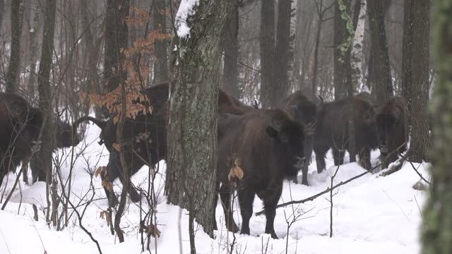 europäischer bison (bison bonasus) in der tschernobyl-zone - hirnnerv stock-videos und b-roll-filmmaterial