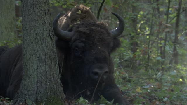 vídeos y material grabado en eventos de stock de european bison in forest, bialowieza, poland - poland