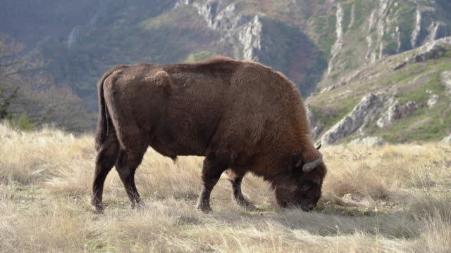 European Bison pasturing in the mountains, close up