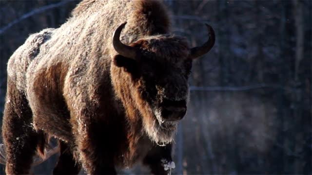欧州バイソン - 野牛点の映像素材/bロール